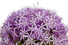 Allium, fiori viola dell'aglio Fotografie Stock Libere da Diritti