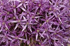 Allium, fioritura dentellare del porro in primavera Fotografie Stock