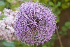 Allium in fioritura in primavera Fotografia Stock