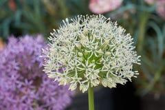 Allium in fioritura in primavera Immagini Stock Libere da Diritti