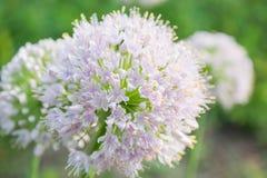 Allium fistulosum Fotografie Stock