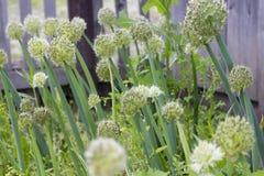Allium fistulosum Immagini Stock Libere da Diritti