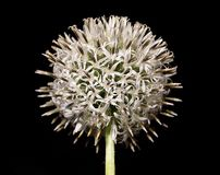 Allium - flor hermosa Fotos de archivo
