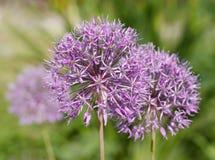 Allium floreciente Fotografía de archivo libre de regalías