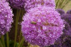 Allium floreciente con la abeja en ella Imagenes de archivo