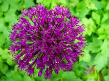 Allium flower Stock Images