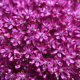 Allium flower background stock photos