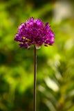 Allium flower. In a garden, summer, Saarland / Germany Royalty Free Stock Image