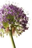 Allium - Flower. Allium Flower with a white background / lightbox royalty free stock images
