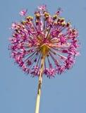 Allium flower. Against the blue sky Stock Images
