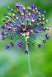 Allium flower. Close-up of an Allium flower Royalty Free Stock Image