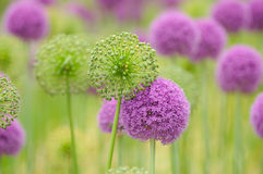 Allium Flower Background. Allium background. Open and closed flower heads creating an alternate green/purple pattern Royalty Free Stock Photo