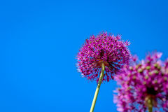 Allium Flower Blooming With Blue Sky Background Royalty Free Stock Photo