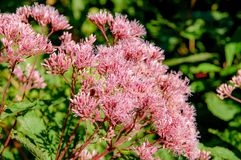 Flower name Allium prattii with pink colour, blooming full and look like a ball royalty free stock photo
