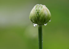 Allium flower bud Royalty Free Stock Photo