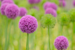 Allium flower close up. Allium flower close-up. Open heads in purple, green heads in green Stock Photo