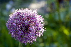 Allium flower Stock Photos