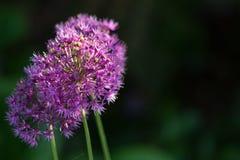 Allium Flower. Close up of Allium flower in full bloom stock image
