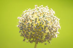 Allium flower Royalty Free Stock Images