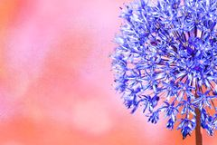 Allium flower head blue with a pink background stock photo