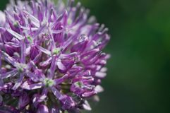 Allium flower head (macro) Stock Photo