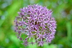 Allium Flower. Allium hollandicum 'Purple Sensation', is a cultivated flower related to the onion. This photograph has a narrow depth of field with background Royalty Free Stock Images