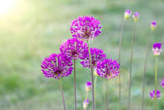 Allium Flower Macro Stock Image