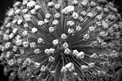 Allium flower - 4 Stock Image