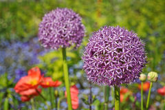 Allium flower Royalty Free Stock Photography