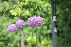 Allium Flower (Ornamental  Onion) Royalty Free Stock Images