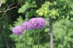 Allium Flower (Ornamental  Onion) Stock Photography