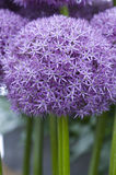 Allium flower pinball wizard Royalty Free Stock Images