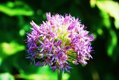 Allium Flower. Round purple Allium Flower part of the onion family Royalty Free Stock Photo