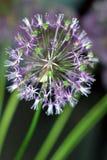 Allium flowerhead. Wheel of violet petals of Allium flowerhead Royalty Free Stock Photos