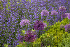 Allium & Flowering Sage Royalty Free Stock Photo
