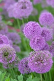 Allium flowers Royalty Free Stock Images