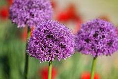 Allium Flowers Royalty Free Stock Images