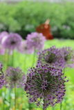 Allium Flowers in Chicago Stock Images