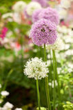 Allium flowers in garden Stock Image