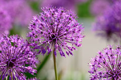 Allium flowers Royalty Free Stock Image