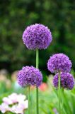 Allium flowers Stock Image