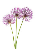 Allium flowers Stock Photos