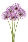 Allium flowers Stock Photos