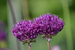 Allium Flowers Stock Photography
