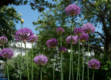 Allium flowers Royalty Free Stock Photography