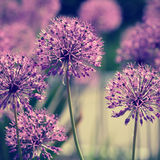 Allium flowers Stock Images