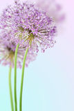 Allium in full bloom Stock Image