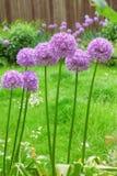 Allium gigante Fotografia Stock