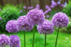 Allium gigante Fotografie Stock Libere da Diritti