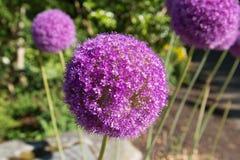 Allium gigante porpora Fotografia Stock